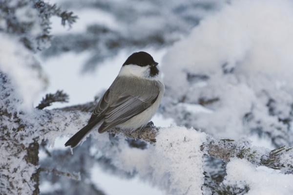 weidenmeise parus montanus erwachsener auf frostbedeckter