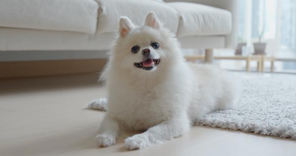 weißer, pommerscher, hund, zu, hause - 27781133