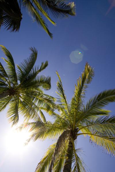 usa hawaii kona palm tree fronds