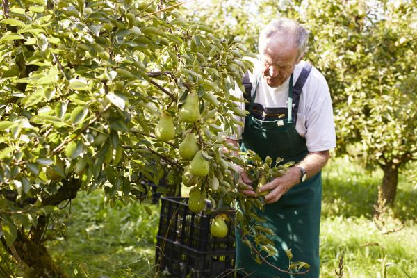 bio landwirt erntet williams birnen