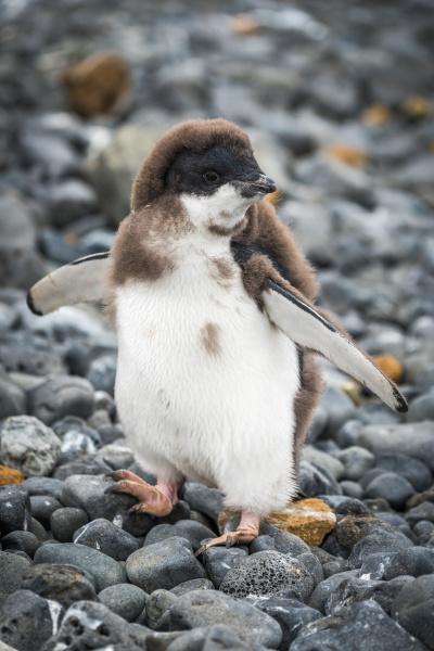 adelie pinguin kueken stehend mit angehobenen