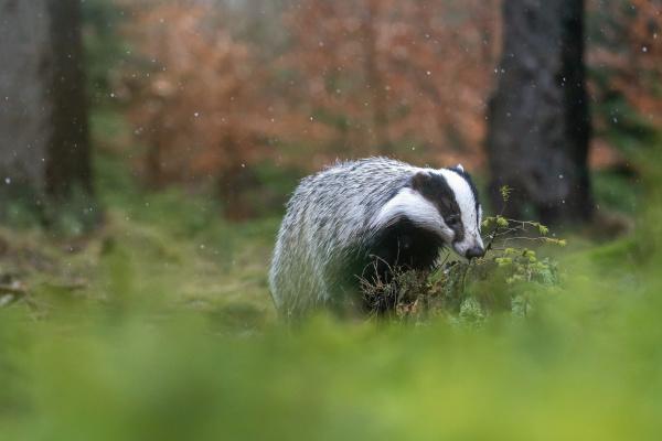 european badger sucht bei leichtem schneefall