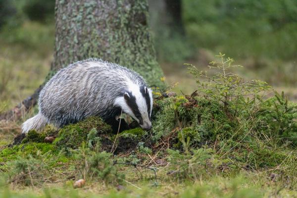 european badger im wald horizontal