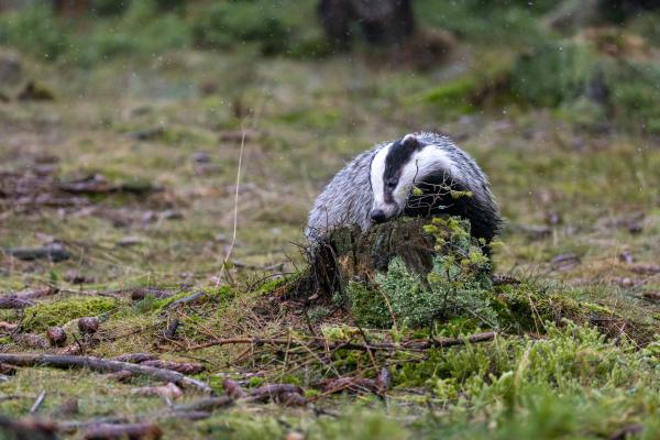 european badger leckt einen stumpf im