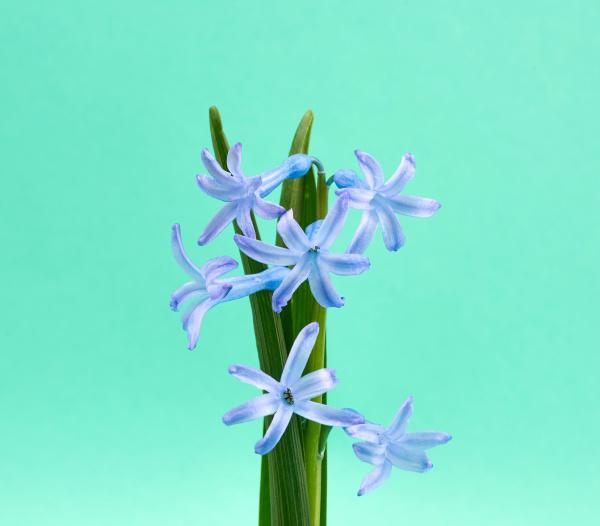 blaue orientalische hyazinthe mit gruenem stiel