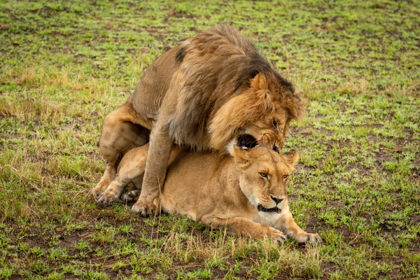 mating, male, lion, bites, neck, of - 28231229