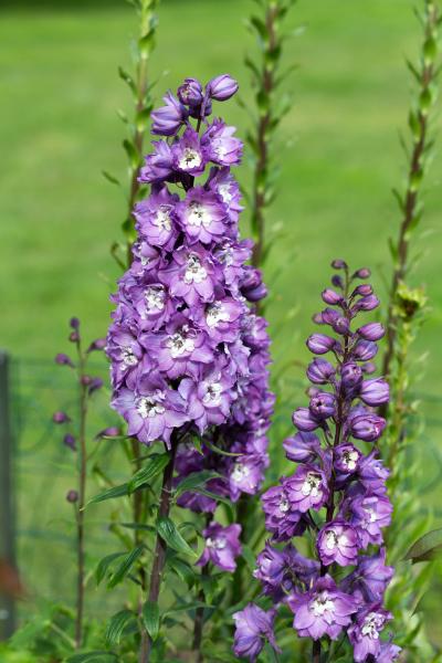 lila delphinium blume im garten