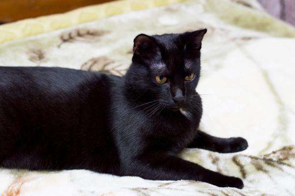 portraet einer schwarzen katze auf einem