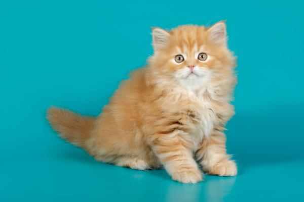 highland gerade katze auf farbigen hintergruenden