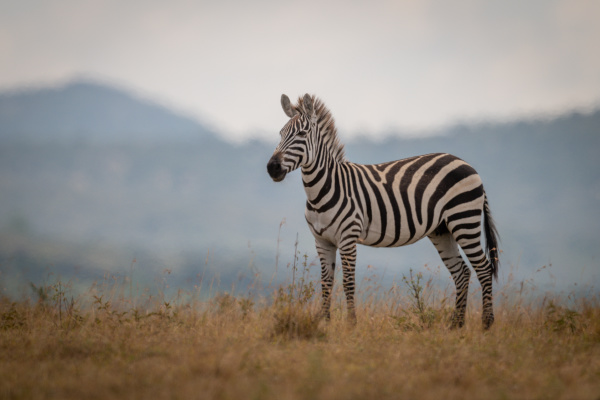 plains, zebra, foal, stands, in, long - 28257566
