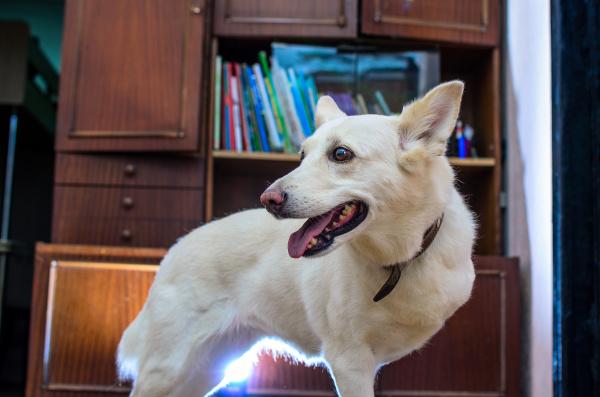 portraet eines weissen mischlings dreibeiniger hund