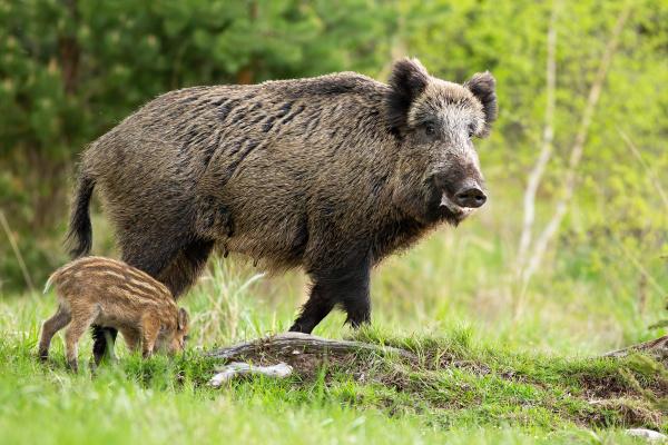 glueckliche wildschweinmutter und kleines gestreiftes ferkel