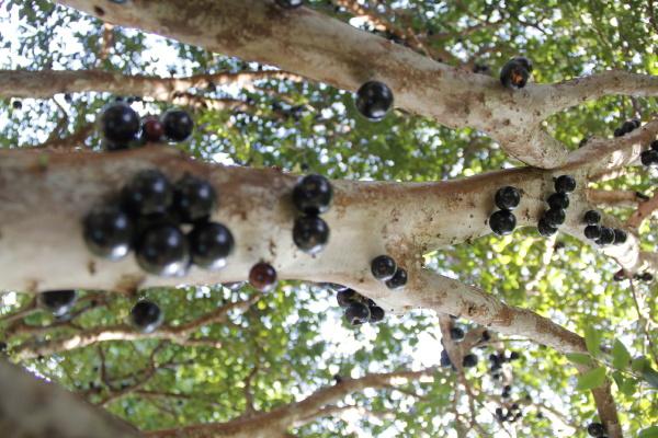 jabuticabeira frucht