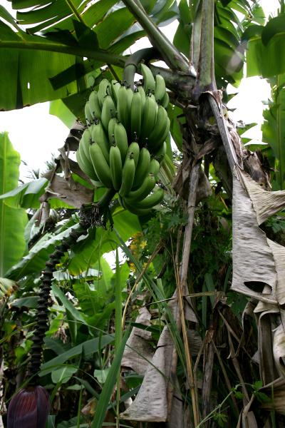 bananenplantage in bahia