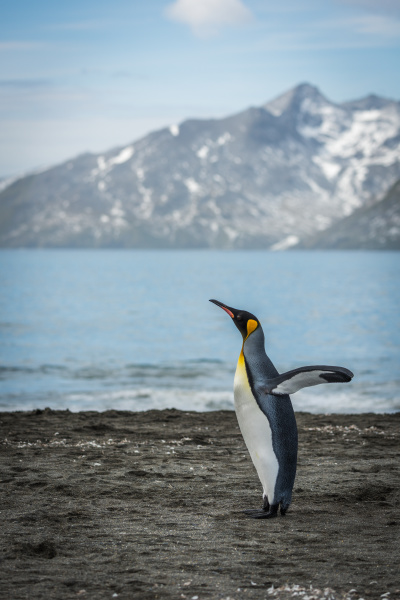koenig pinguin flattern fluegel auf sandstrand