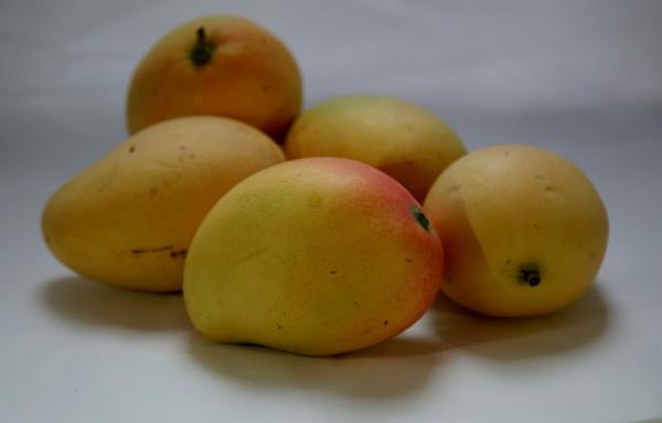 mango frucht landwirtschaft