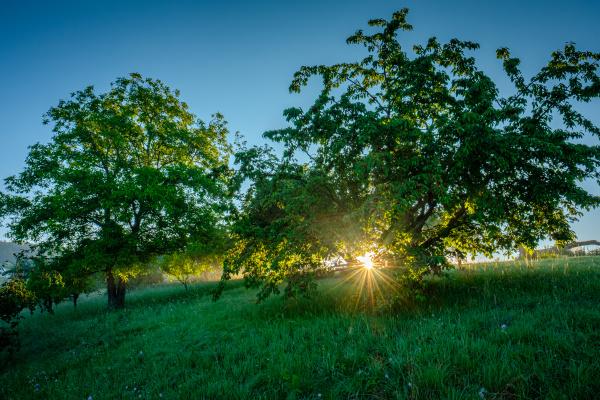 kirschbaeume im sonnenaufgang mit sonnenstrahlen