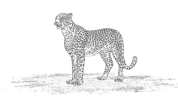 gepard bleistiftzeichnung
