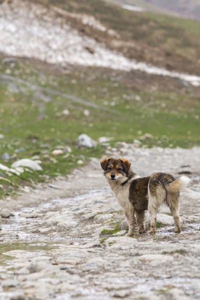 georgien svaneti ushguli portraet des hundes