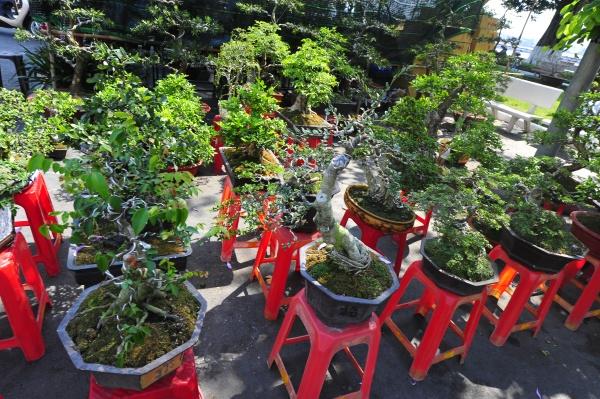 die bonsai kultur in vietnam