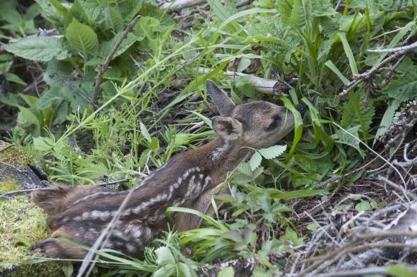 junge hirsche oder rehkitze wildtier