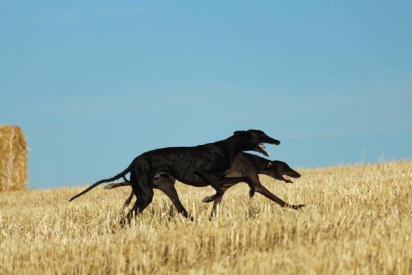 spanischer windhund in mechanischen hasenrennen auf