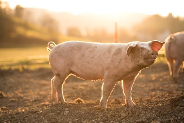 schweine fressen auf einer wiese in