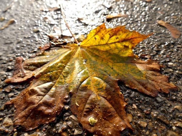 herbstlich gefaerbtes ahornblatt auf einer nassen