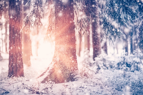 schoene baeume sind im winterwald bei