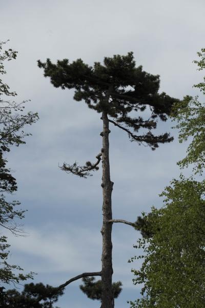 kiefer in der landschaft nadelbaum mit