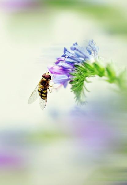 italien makrofang von ueberfliegen bestaeubisierenden echiumblueten