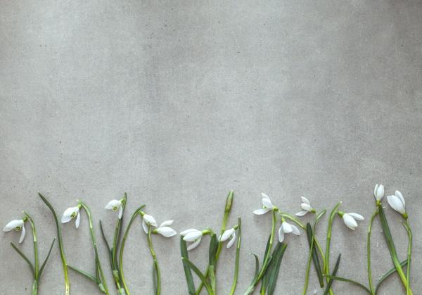 fruehlingshintergrund mit schneegloeckchenblueten