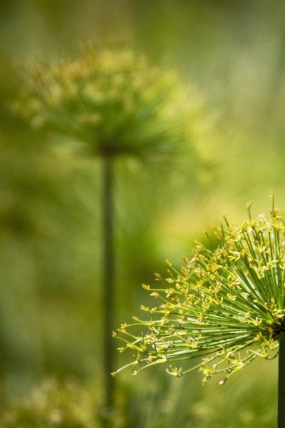 closeup der cyperus papyrusblueten
