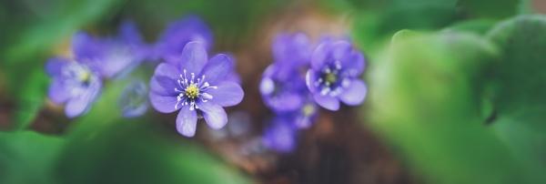 violetter fruehling wildblumen an sonnigen tagen