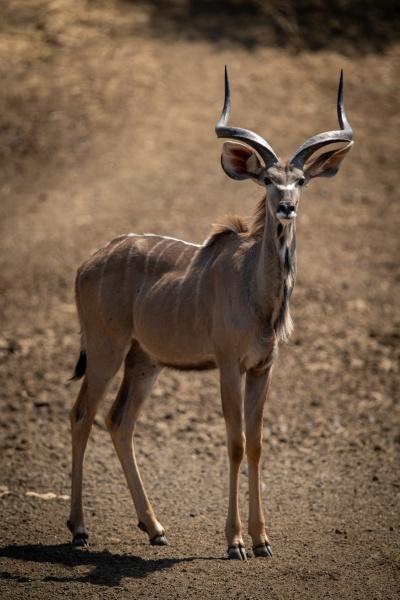 maennlicher grosser kudu steht am felsigen