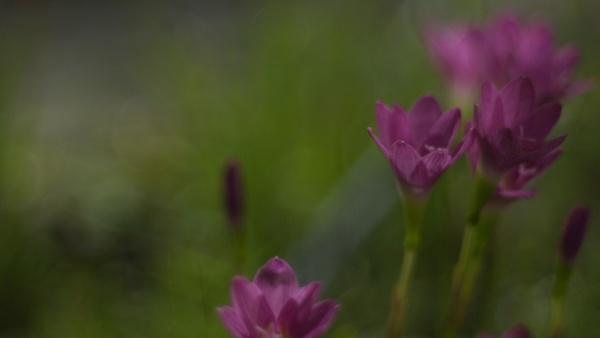 selektiver fokus der rosa zephyranthes lily
