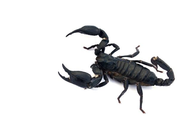 schwarzer skorpion isoliert auf weissem hintergrund