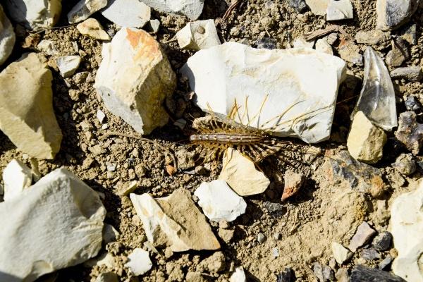 scutigera coleoptera laeuft mit steinen auf