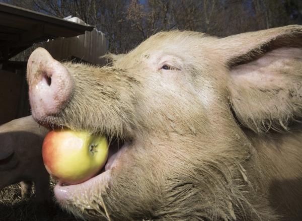 fuetterung von schweinen auf einem bauernhof