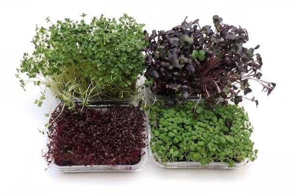 microgreens, plants, colorful, leaves - 29759605