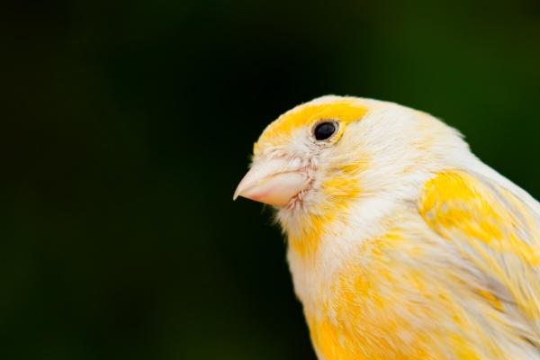 schoene gelbe kanarienvogel