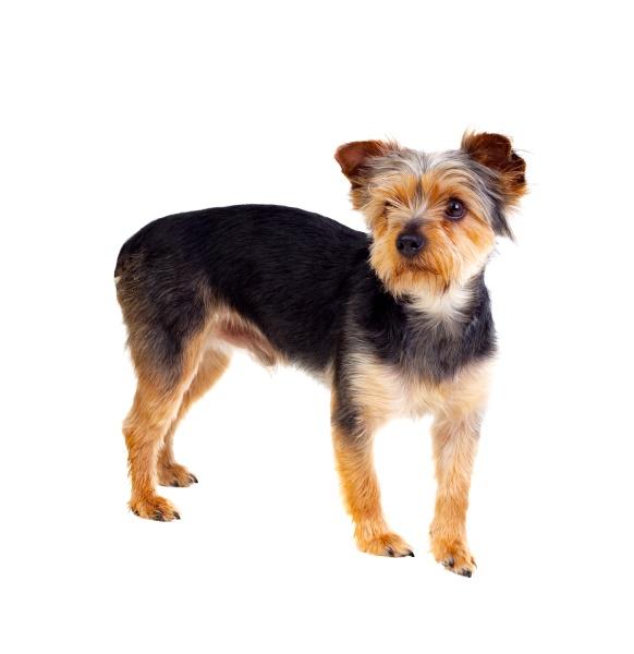 netter kleiner hund mit geschnittenen haaren