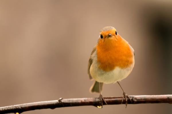 hübscher, vogel, mit, einem, schönen, orangeroten - 29783842