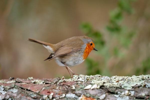 hübscher, vogel, mit, einem, schönen, orangeroten - 29783854