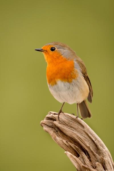 hübscher, vogel, mit, einem, schönen, orangeroten - 29783862