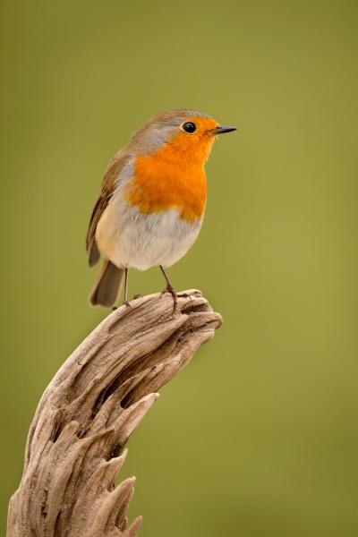 hübscher, vogel, mit, einem, schönen, orangeroten - 29783953