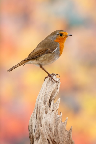 hübscher, vogel, mit, einem, schönen, orangeroten - 29783954