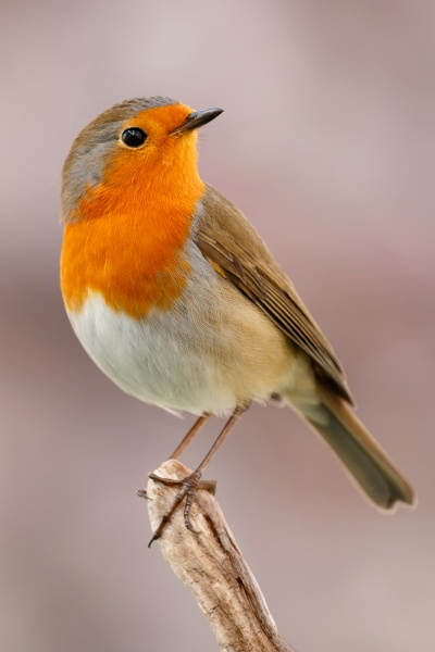 hübscher, vogel, mit, einem, schönen, orangeroten - 29783960