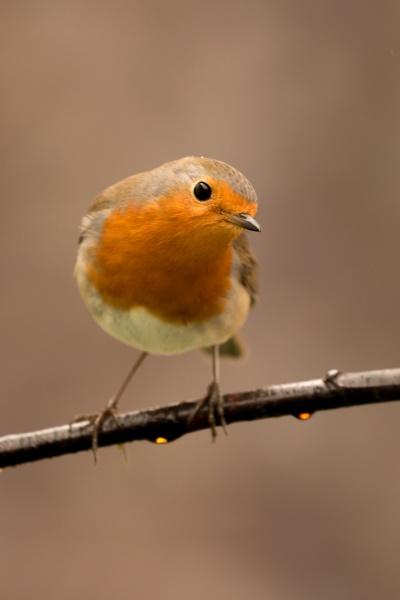 hübscher, vogel, mit, einem, schönen, orangeroten - 29783976