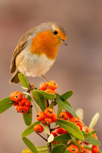 hübscher, vogel, mit, einem, schönen, roten - 29783967
